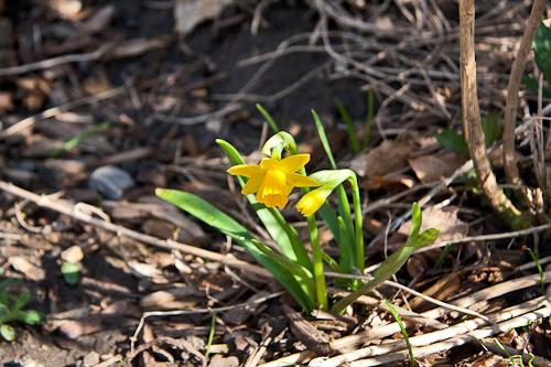 Baby daffodil