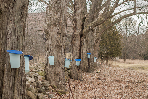 Maple trees in Ontario, tapped for making maple syrup