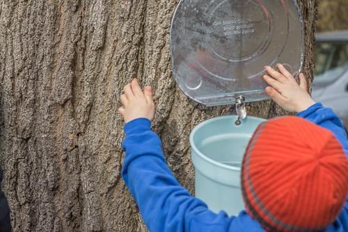 Jack helps collect sap