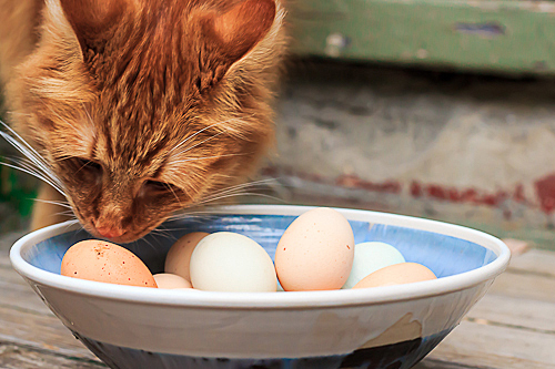 Cat and fresh eggs - The Messy Baker