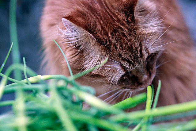 Cat investigates garlic scapes - TheMessyBaker.com