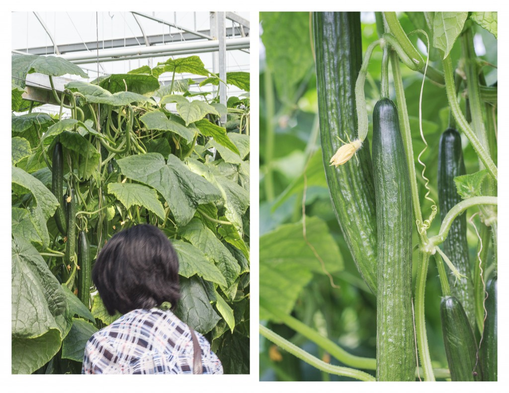 English cucumbers growing in an Ontario greenhouse - TheMessyBaker.com