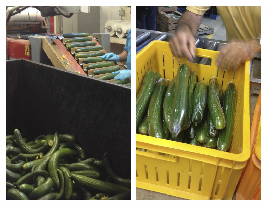 Sorting cucumbers in an Ontario greenhouse - TheMessyBaker.com