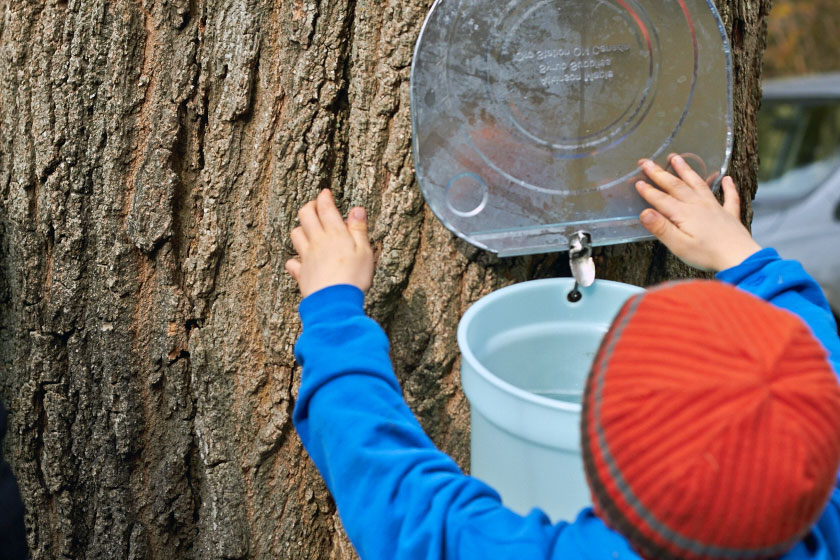 Checking the buckets collecting sap for maple syrup
