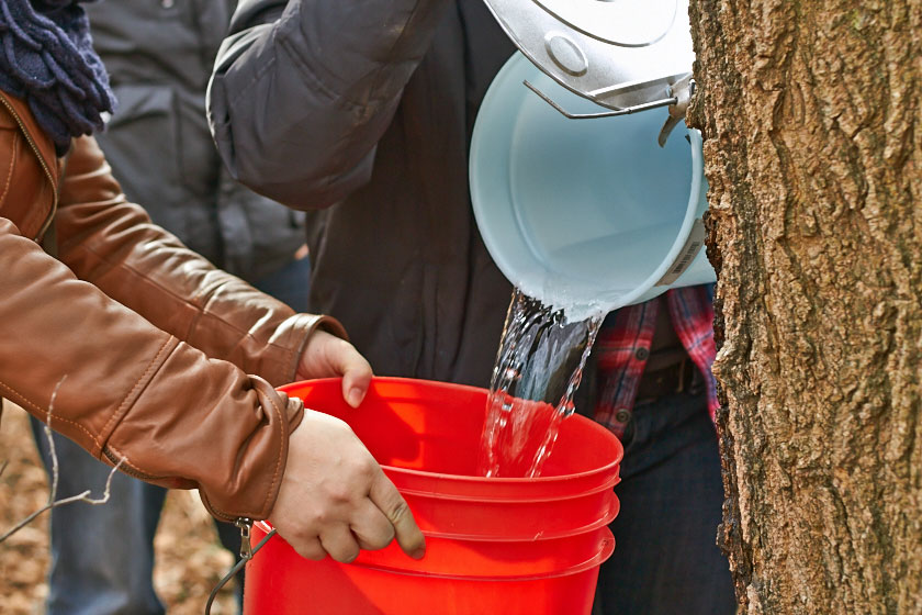 Finally. A bucket is full. Students help collect sap for maple syrup.