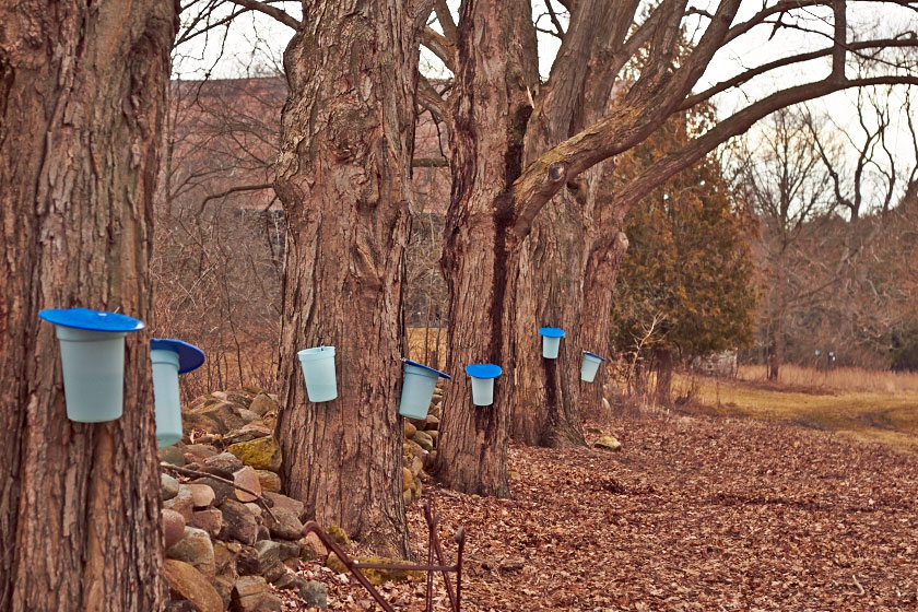 A row of trees with sap buckets for making maple syrup