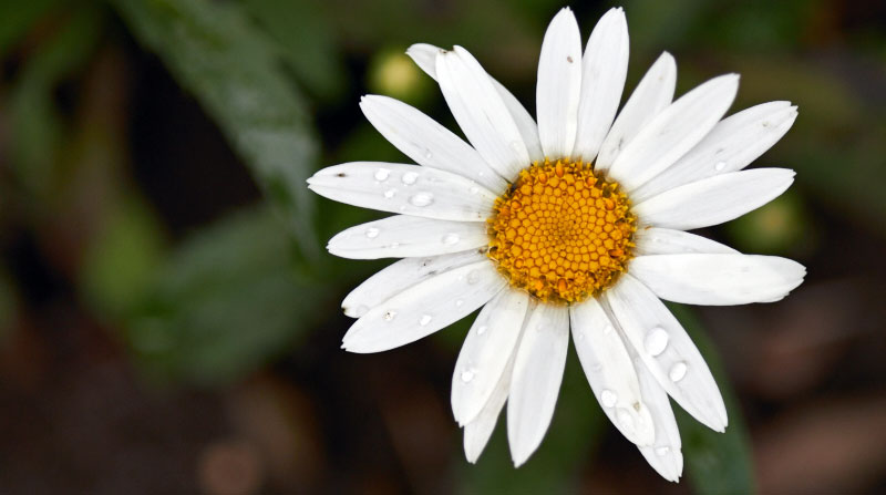 A tattered daisy -- The Messy Baker