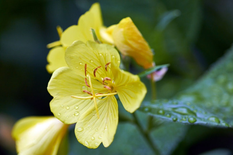 Evening primrose in bloom - The Messy Baker.