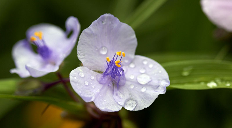 Purple spider wort covered in rain -- The Messy Baker