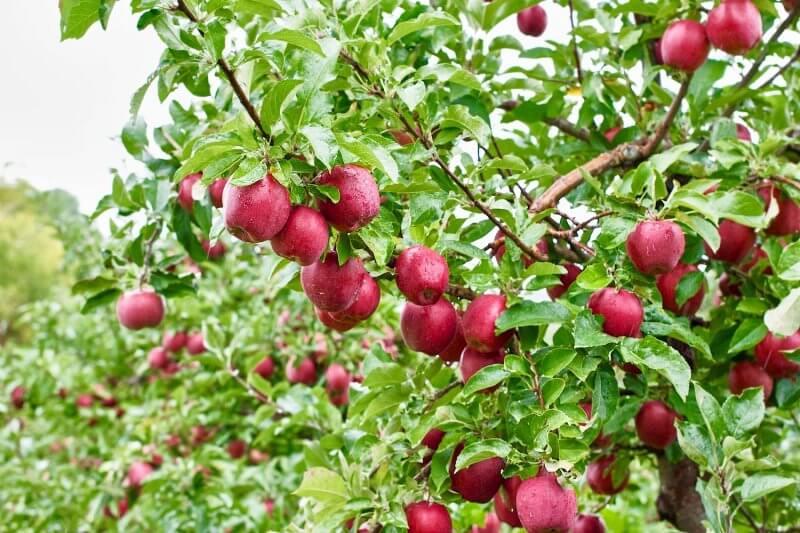 Ontario Apples - Ida Reds