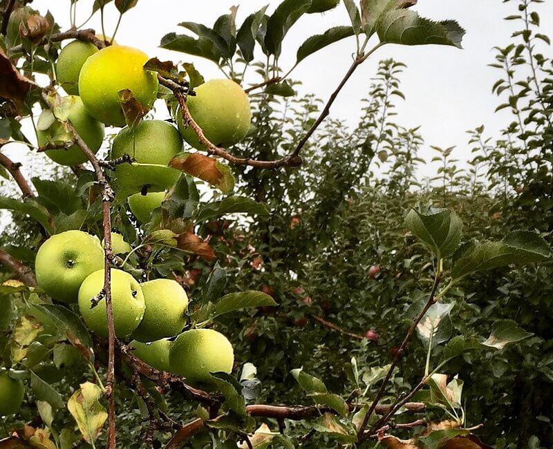 Mutsu aka Crispin -- An Ontario Apple Variety